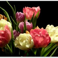 Голландские тюльпаны. :: Елена