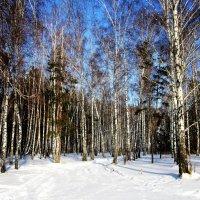 Зима в берёзовой роще . :: Мила Бовкун