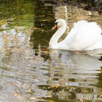 Лебедь в пруду :: Эхтирам Мамедов