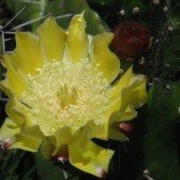 цветок кактуса :: нина полянская