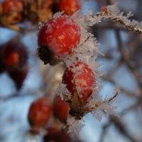 Шиповник зимний. :: Надежда