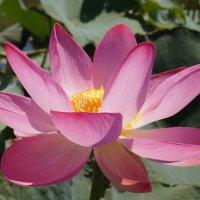 вся нежность мира в цветке лотоса :: Катерина Коленицкая
