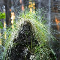 Лесной колдун :: Валерий Талашов