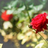 Роза. :: Владимир Незабываемый