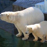 Белые медведи :: Ольга Головина