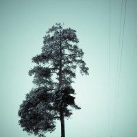 Одинокая сосна! :: Дмитрий Кошелев