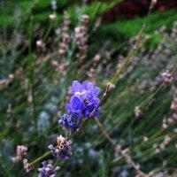 Синенький скромный цветочек...) :: Natali
