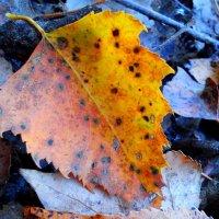 Осенний лист :: оксана