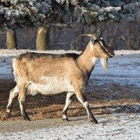 Идет коза рогатая... :: Ирина Приходько