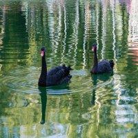 Чёрные лебеди :: Александр Л......