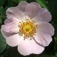 Шиповник  розовый цветёт, льёт  запах свой благоуханный… :: Нина Корешкова