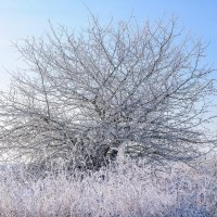 Дикая груша в декабрьский мороз, Одиноко скучала в лесу..... :: Анатолий Клепешнёв