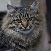 Портрет кота :: Ольга Винницкая (Olenka)