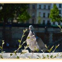 голубь :: Сергей Петров