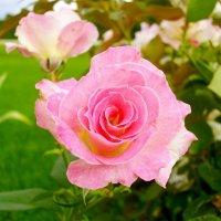Нежная роза. :: Лия ☼