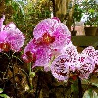 Орхидеи Фаленопсисы. :: Лия ☼