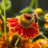 Пчелка :: Дмитрий