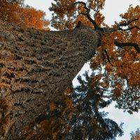 Столетний дуб в Павловском парке, Санкт-Петербург :: Serge Prakhov