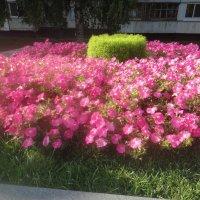 Цветочки в сквере в городе Наб. Челнах (название не знаю) :: Батыргул (Батыр) Шерниязов