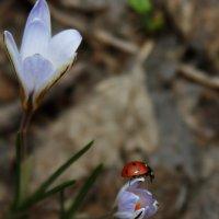 лесной крокус :: татьяна вашурина