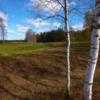 Пейзаж с березками :: Александр Кафтанов