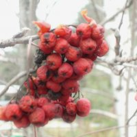 Зимняя ягода :: Екатерина Климова