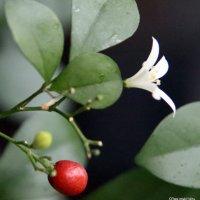 Плодоносим и цветем и зимою :: Олег Лукьянов