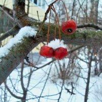 Зимняя вишня :: Milocs Морозова Людмила