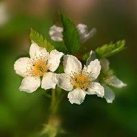 цветы ежевики :: Lena