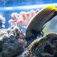 Рыба-бабочка :: Billie Fox