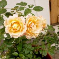 Аромат цветов Летнего сада. :: Валентина Жукова