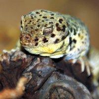 Сцинковые гекконы :: Alexander Andronik