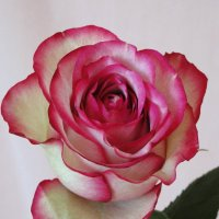 Роза сорта Карусель :: Елена Шемякина