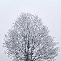 Зимний клён... :: Анатолий Клепешнёв