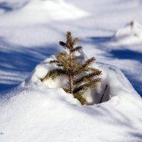 Маленькой ёлочке холодно зимой!!! :: Михаил Михайлов