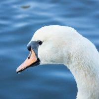Лебедь :: Alex Bush