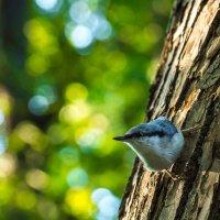 Поползень на дереве :: Alex Bush