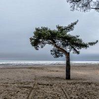 Одинокая сосна на ветру :: Valeriy Piterskiy