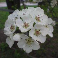 Цветы груши :: Сергей Гвоздев