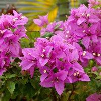 Цветы тропиков :: Igor Khmelev