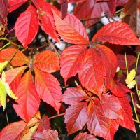 Виноградных листьев тёплые ладошки. :: Валентина ツ ღ✿ღ