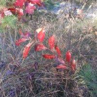 Красная ветвь церападуса :: Сергей Гвоздев