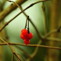 калина красная....декабрь :: Михаил Жуковский