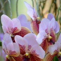 Тропические орхидеи :: Дмитрий Боргер