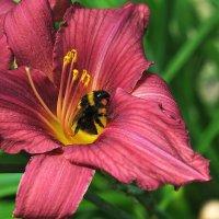 На цветах волшебных шмель и пыльца, как карамель :: Ирина Данилова