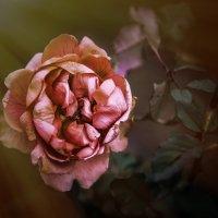 """Роза тихо увядает - """"Увядающая роза. Слаще всех благоухает""""... :: Александр Вивчарик"""