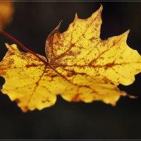 Рыжий лист кленовый :: Swetlana V