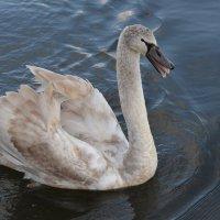 Лебедь :: Наталья Левина