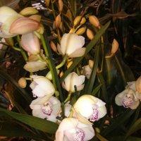 Орхидеи :: Galina194701