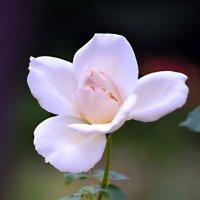 Монастырская роза :: Nina Streapan